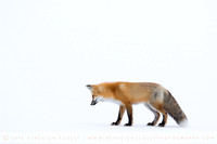 Red Fox Mousing Yellowstone 2016