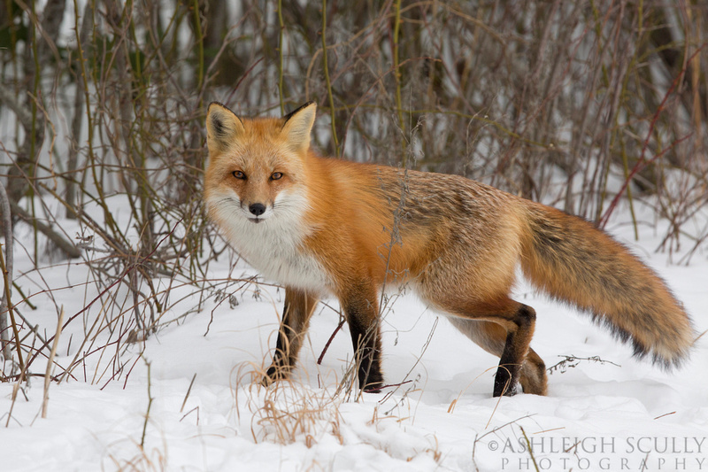 Red fox фото 31464 фотография